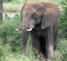 The Elephant {Loxodonta Africana} by Elizabeth Kendall