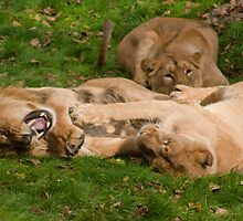 Stop Tickling Me (Asiatic Lion's) Dudley Zoo England by Blitzer