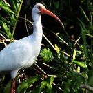 White Ibis by Shelley Neff