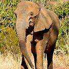 Elephant Approach by Joe Jennelle