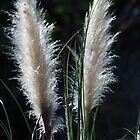 Pampas Grass Plumes by MindyLinford