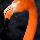 Flamingo Profile by Joe Jennelle