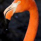 Flamingo Profile by Joe Jennelle