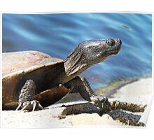 Turtle in Echo park LA Poster