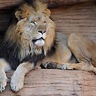 Male Lion by Joe Jennelle