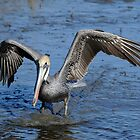 Pelican Two Foot Landing by Joe Jennelle