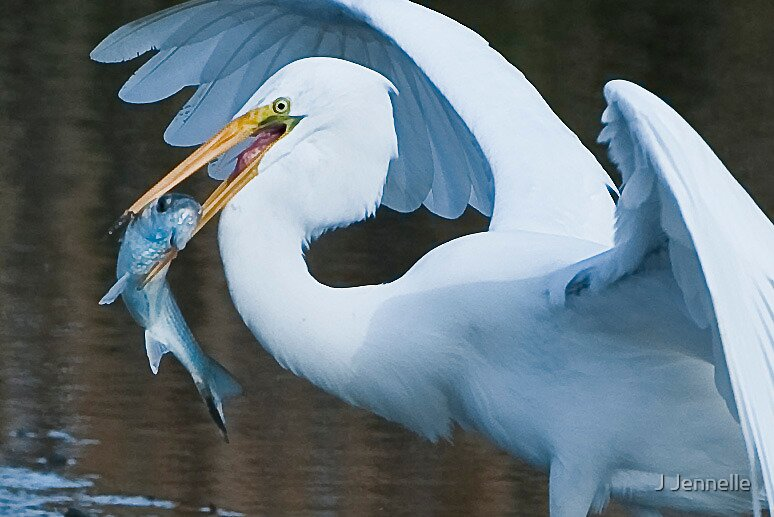 Great White Egret With Fish by Joe Jennelle