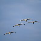 White Ibis Flight Formation by Joe Jennelle