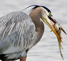 Great Blue Heron With Fish by Joe Jennelle