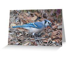 Blue Jay Greeting Card