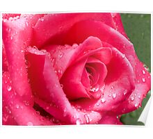 cerise rose with raindrops closeup Poster