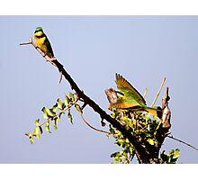 Bee-Eater Photographic Print
