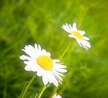 Daisies by Dave Wilson