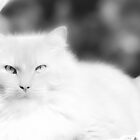 Elvis, My Beautiful Maine Coon by Karen Kaleta