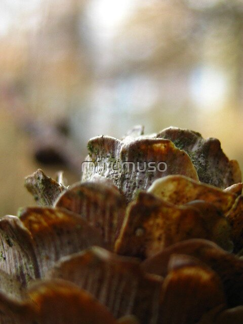 larch cone by millymuso