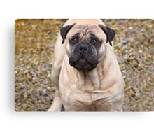 Say Hello To Foster - Bullmastiff Canvas Print