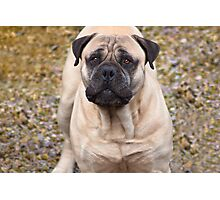 Say Hello To Foster - Bullmastiff Photographic Print