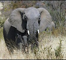 Pilansberg elephant by almaalice
