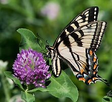 Two-Tailed Swallowtail  by DigitallyStill