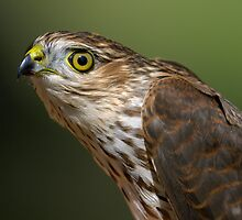 Sharp-shinned Hawk Portrait by Heather Pickard
