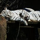 Feline Spooning- Rex and Zulu - New Orleans Zoo by eyeland
