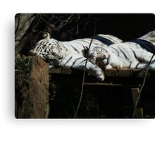 Feline Spooning- Rex and Zulu - New Orleans Zoo Canvas Print