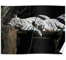 Feline Spooning- Rex and Zulu - New Orleans Zoo Poster