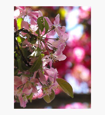 Apple Blossom Bokeh Photographic Print