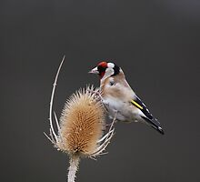 goldfinch by stephen  barber