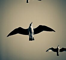 Gliding gulls by StefanFierros