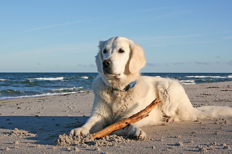 Quot My Golden Retriever Ditte At The Beach Quot By Trine Redbubble