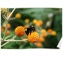 A busy bee in summer time Poster