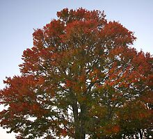 Flaming Tree by Henry L. Sampson