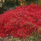 Burning Bush in the Fall by daphsam