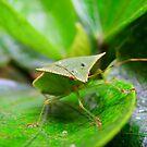 Loxa Flavicollis (Stink Bug) by Pandrot