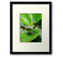 Loxa Flavicollis (Stink Bug) Framed Print