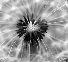 Dandelion - B&W by SylBe