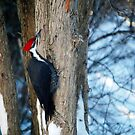 Pileated Woodpecker by Diane Blastorah