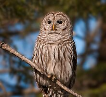 Barred Owl  by Daniel  Parent