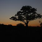 boab tree,in sunset by Alexander whadcoat
