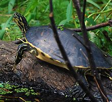 Cooter on a log by Ben Waggoner