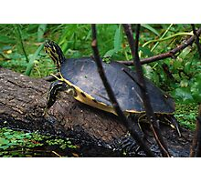 Cooter on a log Photographic Print