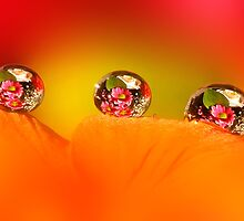 Rose and daisy drops by Lyn Evans