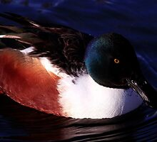 Mr Shoveler by snapdecisions