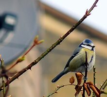 Blue Tit and Satellite Dish by HJIrvine
