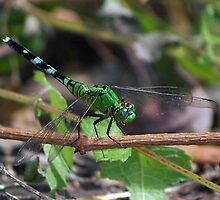 Green dragonfly on a twig by Ben Waggoner