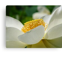 Water Lily 10 Canvas Print