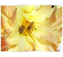 Bees dance on a dahlia Poster