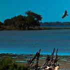 Osprey in Flight by AbbottPhotoArts