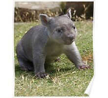 "I know ""Dad"" is here somewhere--Tunna the baby wombat , now 2 Kg and  looking good Poster"